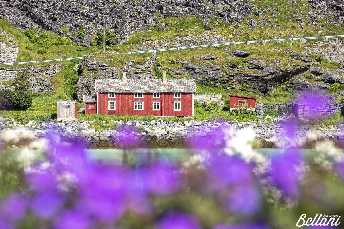 Bloom of flowers LOFOTEN ISLANDS