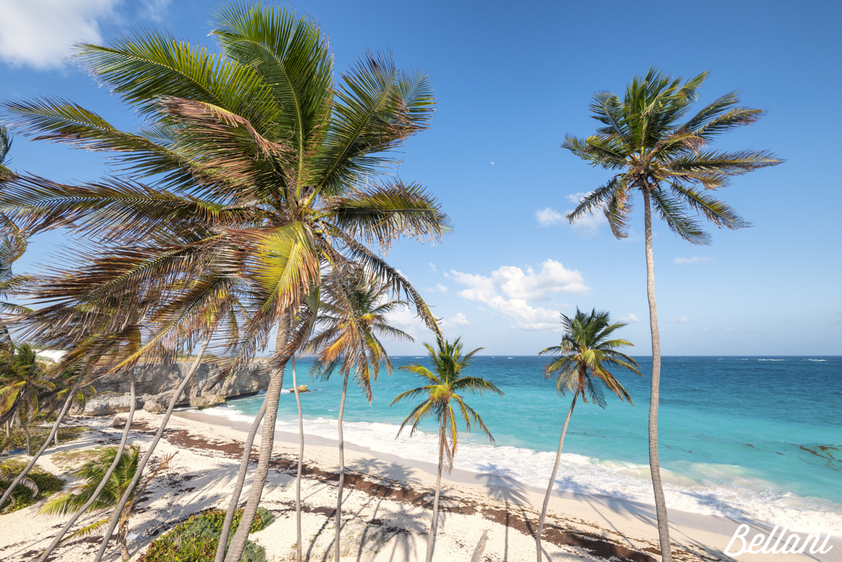 Cocunut palm trees of Bottom Bay BARBADOS ISLAND