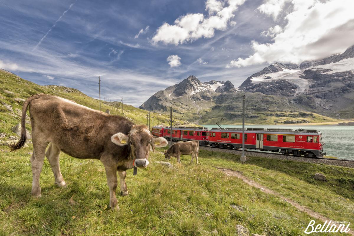 Cows grazing near Bernina Express