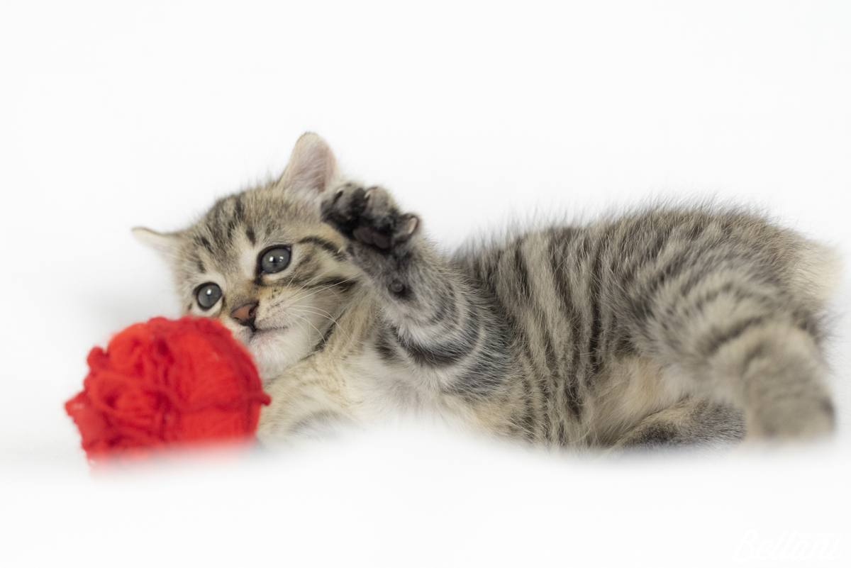 Puppy cat playng with ball of wool ITALY