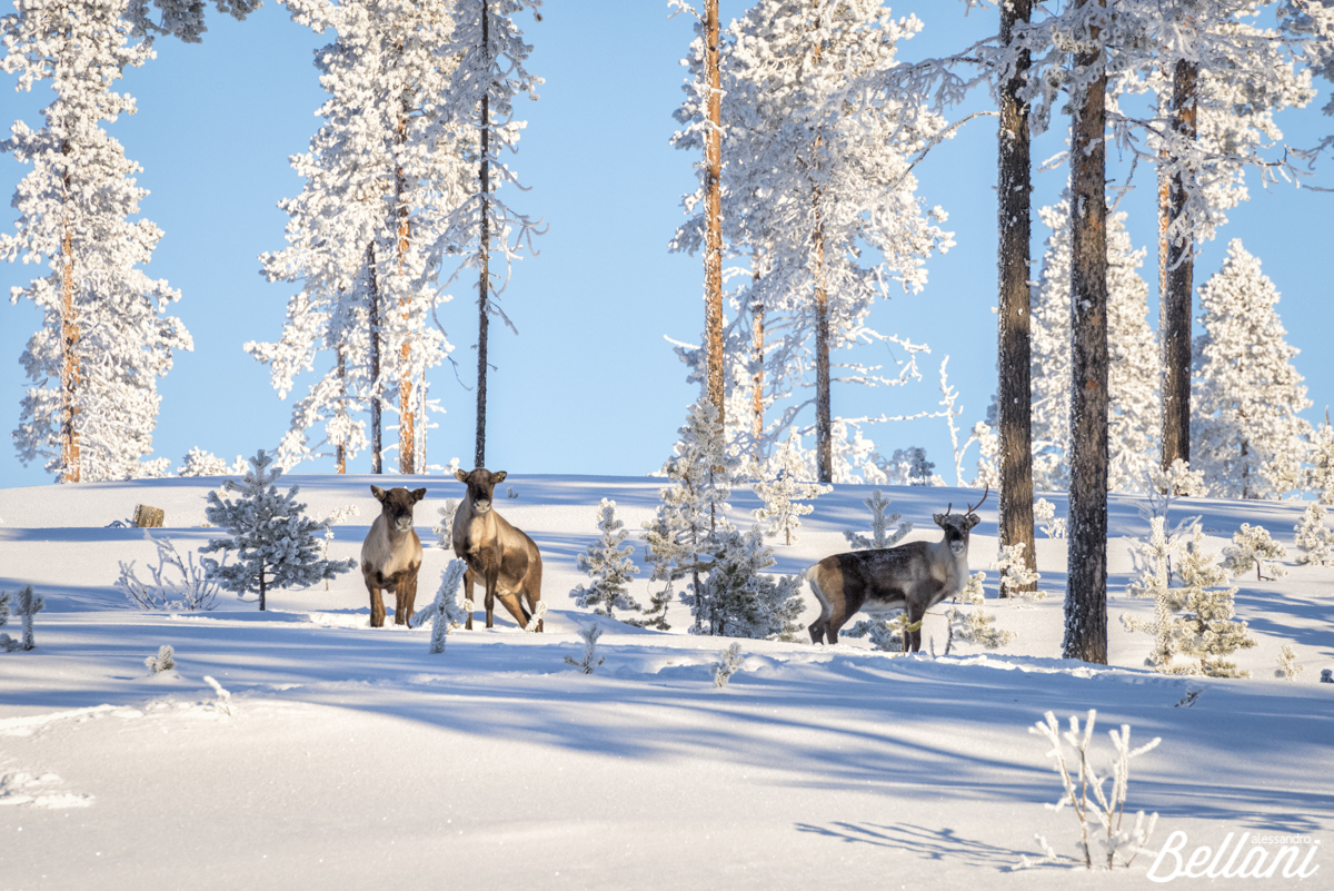 Reindeer group FINLAND