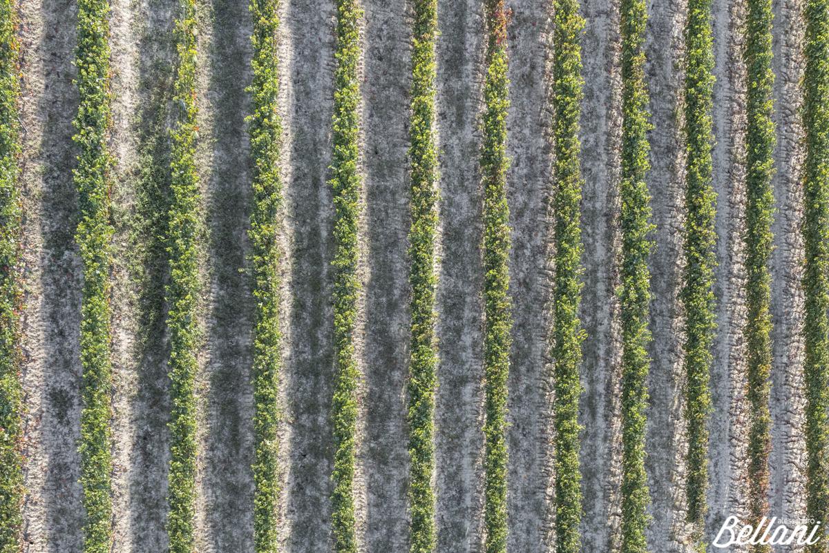 Vineyard lines of Langhe ITALY