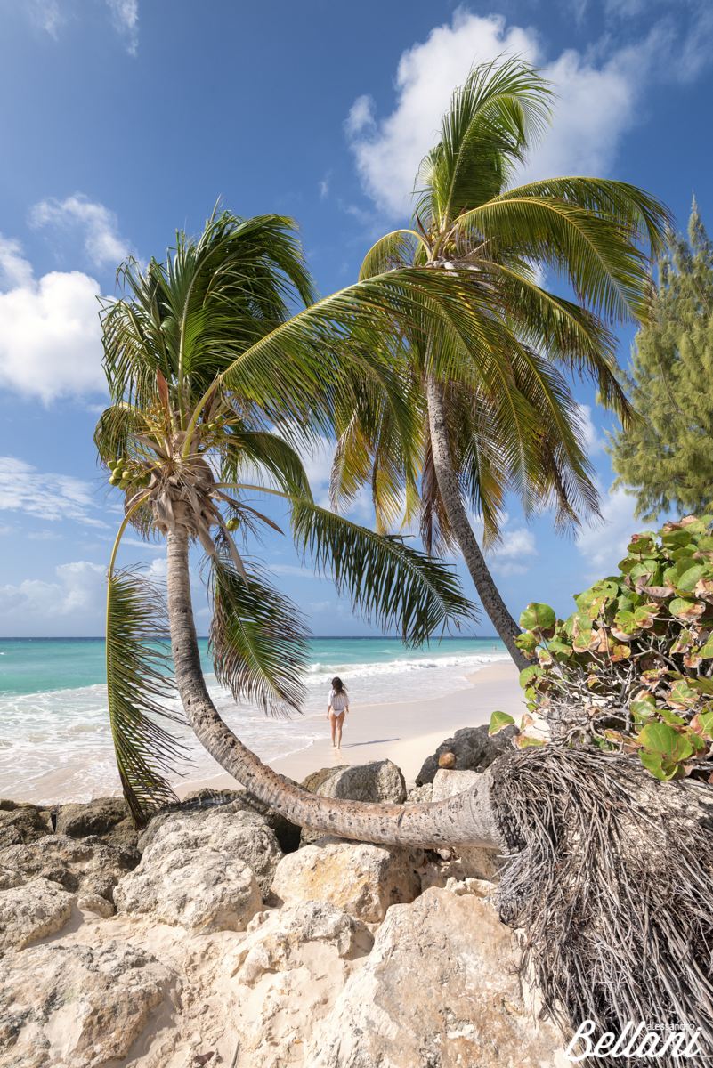 Woman walks on the beach framed from curved palm trees BARBADOS ISLAND