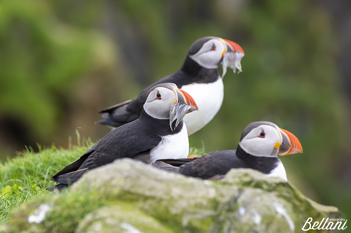 The Puffins